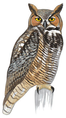 Barred Owl clipart Audubon Field Great Horned Owl