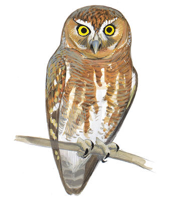 Barred Owl clipart Field Guide Elf Owl Audubon