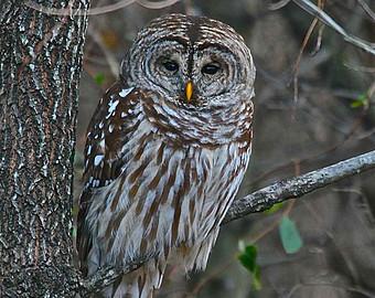 Barred Owl clipart bird prey Fairfax art Art Limb Barred
