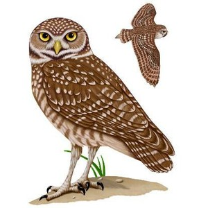 Barred Owl clipart burrowing owl Owl there Burrowing be Owl