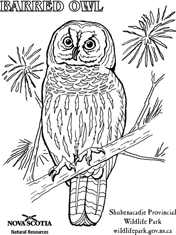Barred Owl clipart face Download coloring coloring Burrowing Burrowing