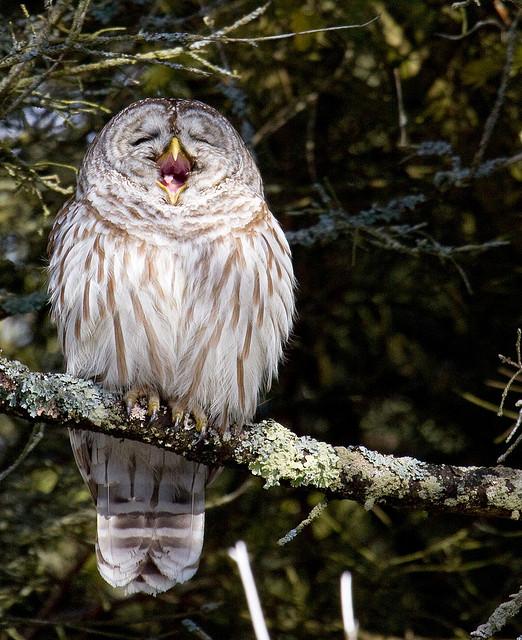 Barred Owl clipart happy Presqu'ile Presqu'ile jokes My