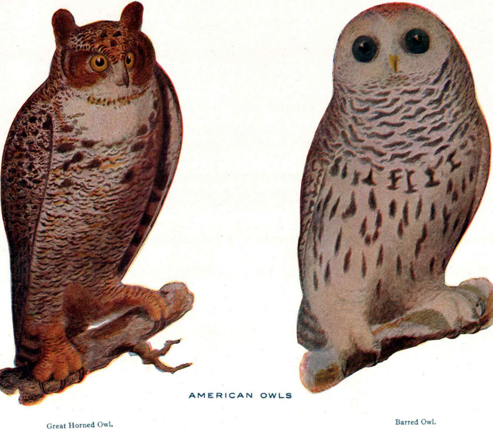 Barred Owl clipart happy Reference Great and Horned Horned