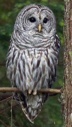 Barred Owl clipart big eye With hoooot a all Barred