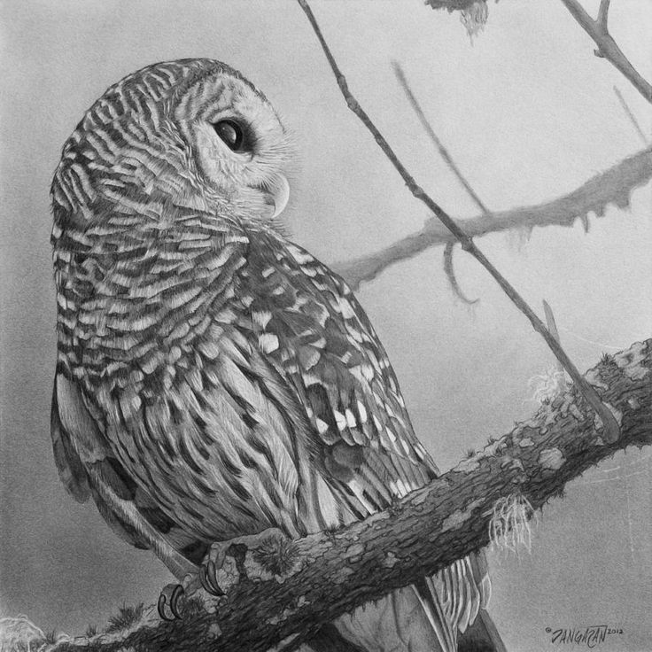 Brown Hawk Owl clipart pencil drawing Of on Owl Barred Pinterest