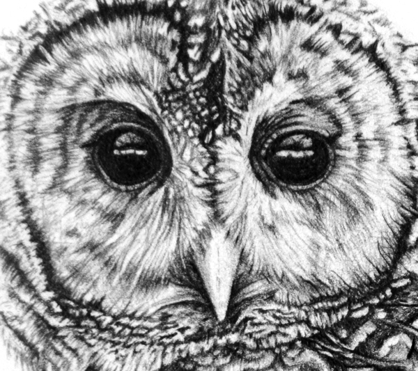 Barred Owl clipart face Drawing Drawing Owl Brown Brown