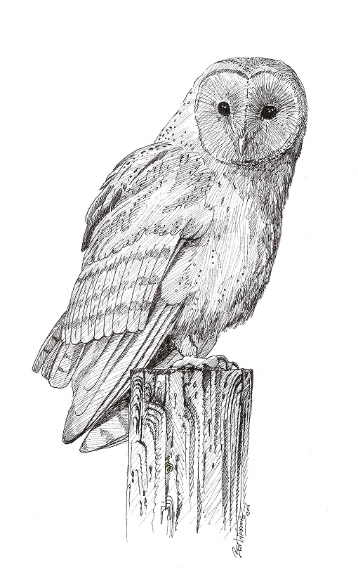 Brown Hawk Owl clipart pencil drawing Drawings Drawings Pictures Photos Pics