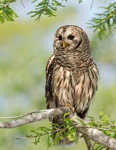 Barred Owl clipart smart Illinois live in « Three