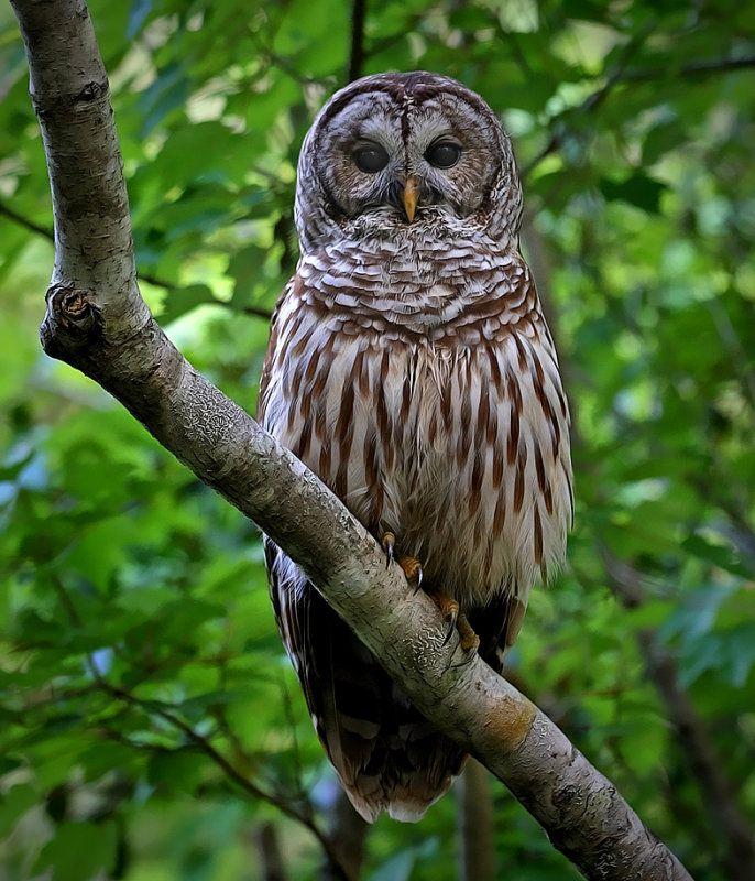 Barred Owl clipart smart Barred 10 Pinterest best more