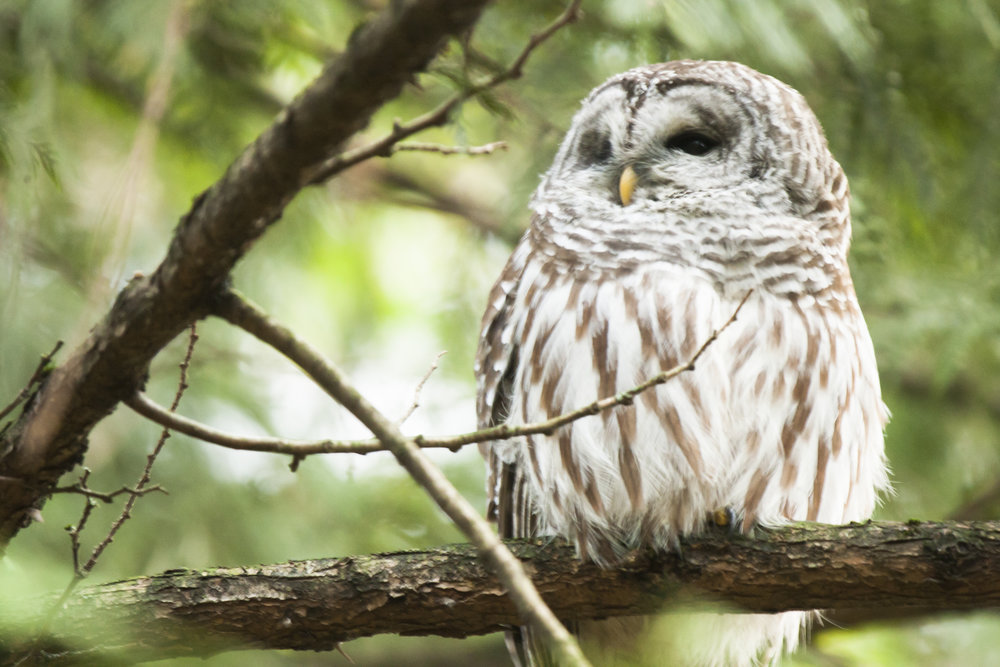 Barred Owl clipart smart Photography Barred Owl Barred Wildlife