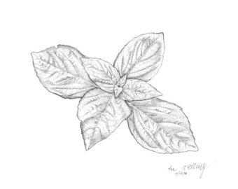 Basil clipart black and white Black Print Basil No plant