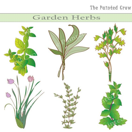Mint clipart herb Basil Parsley on Gardens Clipart