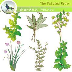 Basil clipart parsley Art  Herbs Watercolor Chic