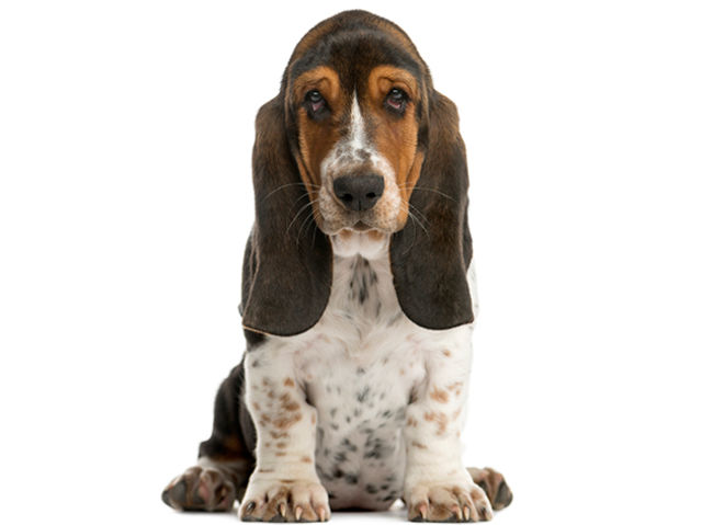 Basset Hound clipart dog shadow From this? Breed Which breed