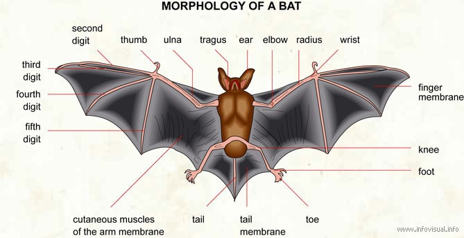 Bat clipart brown objects The « images Dreams objects