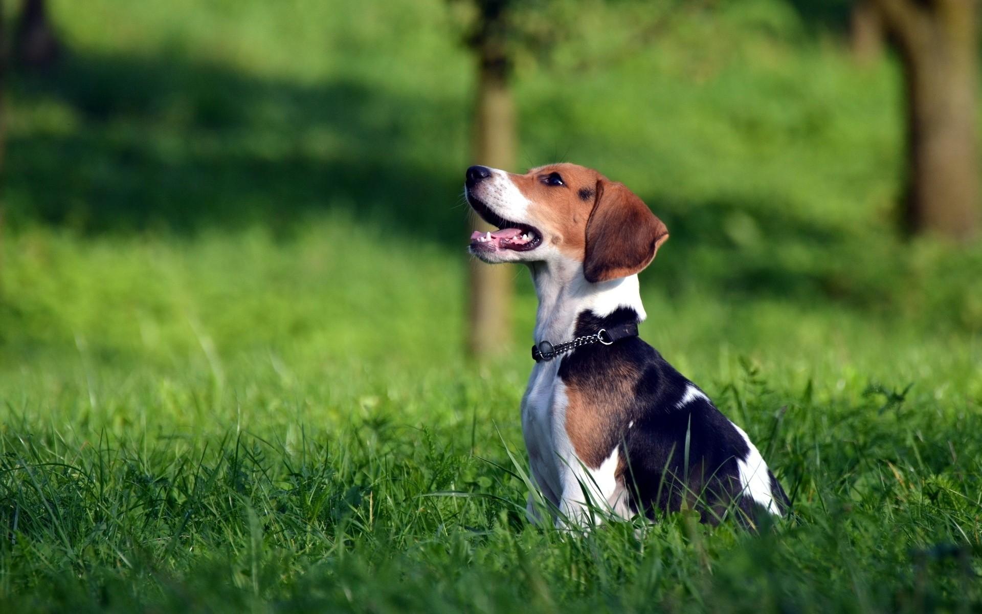 Beagle clipart cute WallpaperSafari Wallpapers That HD is