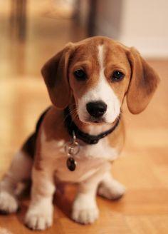 Beagle clipart cute Beagles Cruelty Free Beagle_portrait_Camry