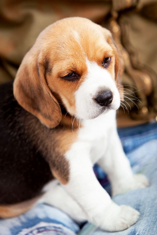 Beagle clipart cute Pictures Puppies Cute photo the