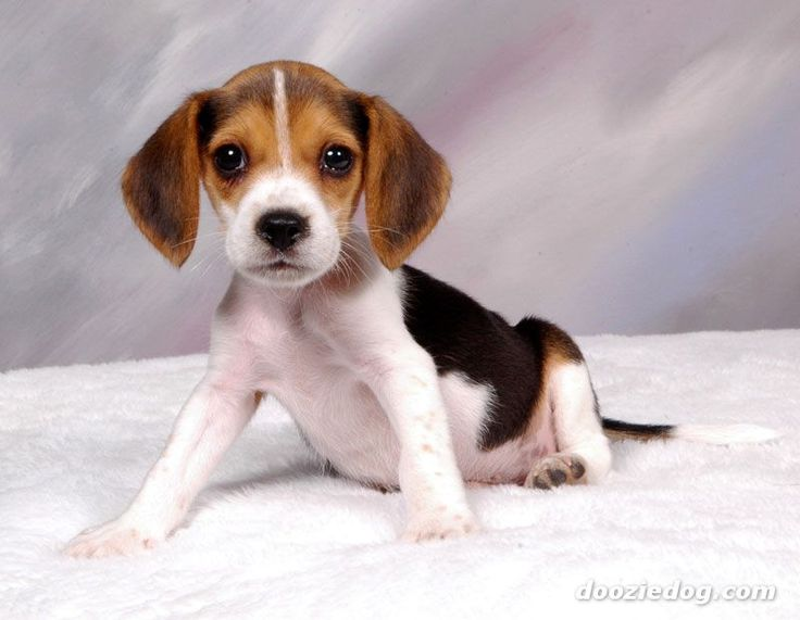 Beagle clipart cute Images best this on on