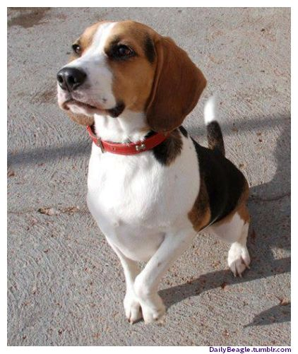 Beagle clipart therapy dog A Beagles Beagle 1672 Dog