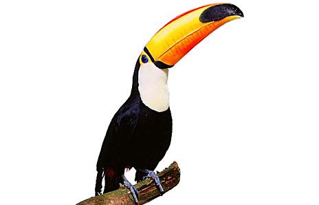 Toucan clipart Panda Clipart Beak Free Clipart