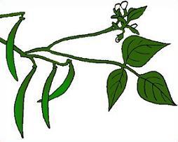 Bean clipart bean plant Plant Beans Plants Clipart Green
