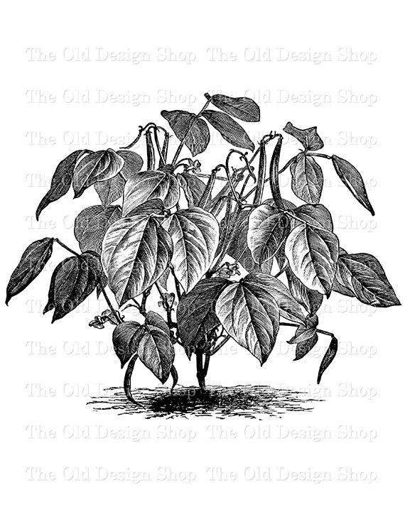 Bean clipart garden plant Bean Clip Vintage TheOldDesignShop on