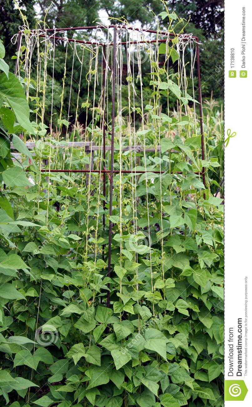 Bean clipart garden plant Plant art clip Clipart (42+)