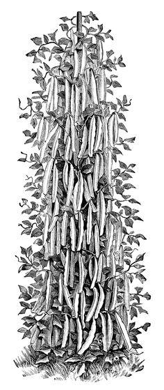 Bean clipart garden plant Page beans raspberry plant vintage
