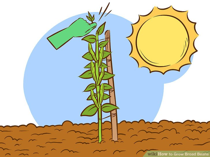 Bean clipart garden plant WikiHow titled Pictures) Step Beans