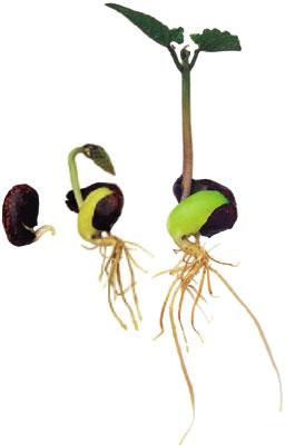 Beans clipart germination Bean Plant Art Bean Earth