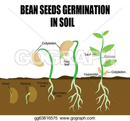 Beans clipart germination Seeds germination & illustration for