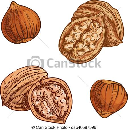 Hazelnut clipart Walnut Clipart Hazelnut Vectors design healthy csp40587596
