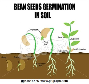 Seeds clipart seed germination Sequence bean seeds seeds Seed
