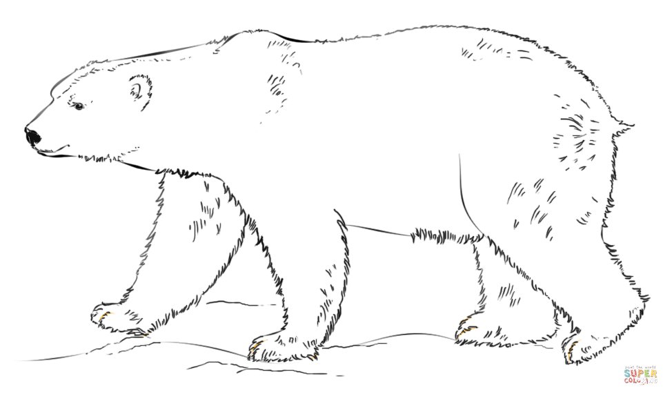 Drawn polar  bear side view Pages Click Pages coloring walking
