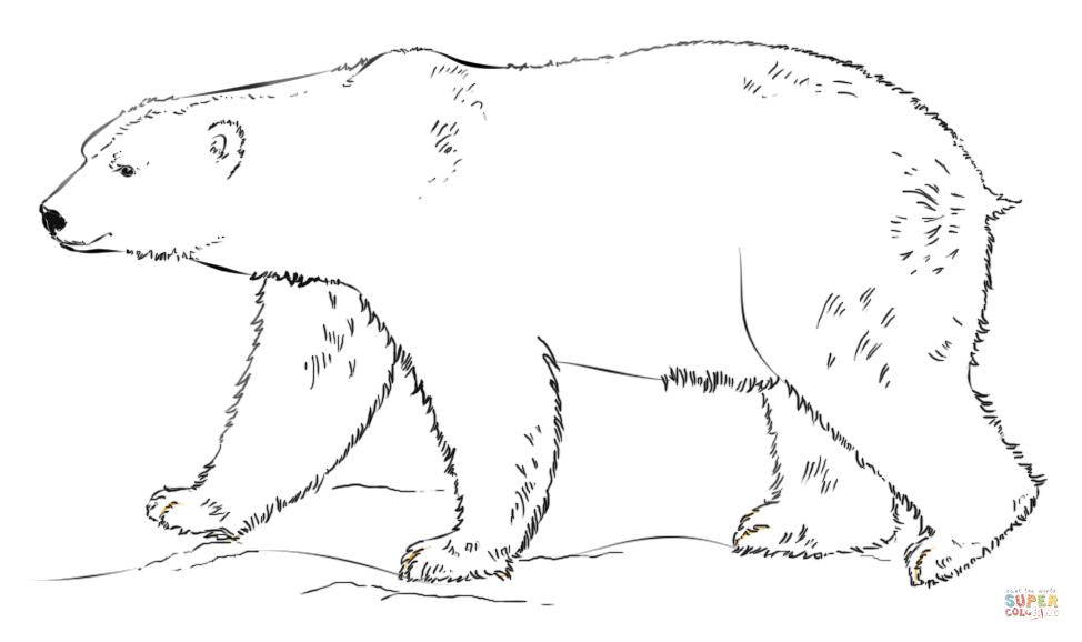 Drawn polar  bear hand drawn Free coloring walking the page