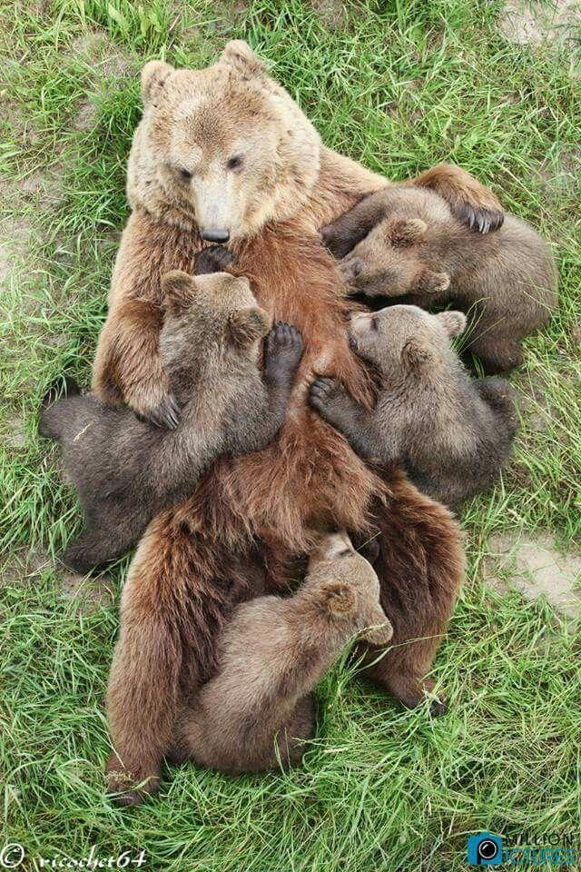 Bear Cub clipart fur Best ideas Grizzly con CubsPolar