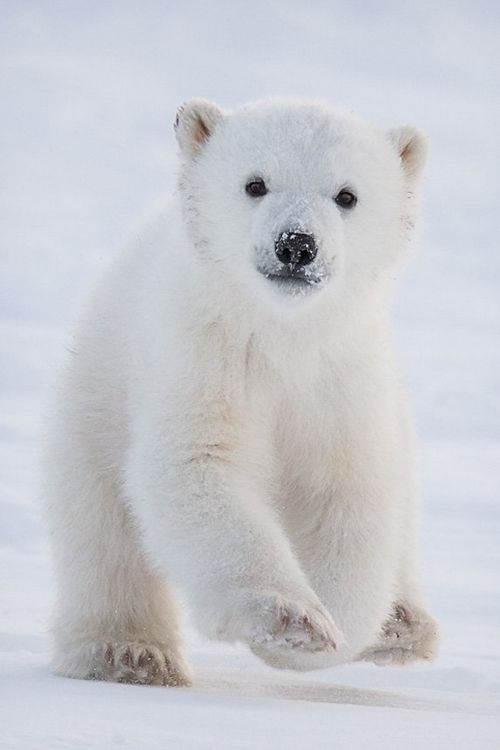 Bear Cub clipart polar animal Polar Of The Ever Baby