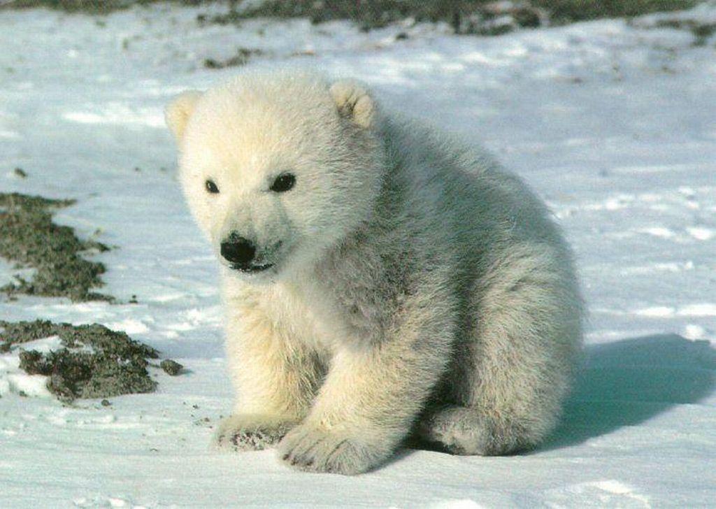 Bear Cub clipart snow bear Polar Cute Sitting Cute Polar