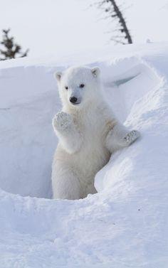 Bear Cub clipart snow bear Bear Polar Bear Hi cute?