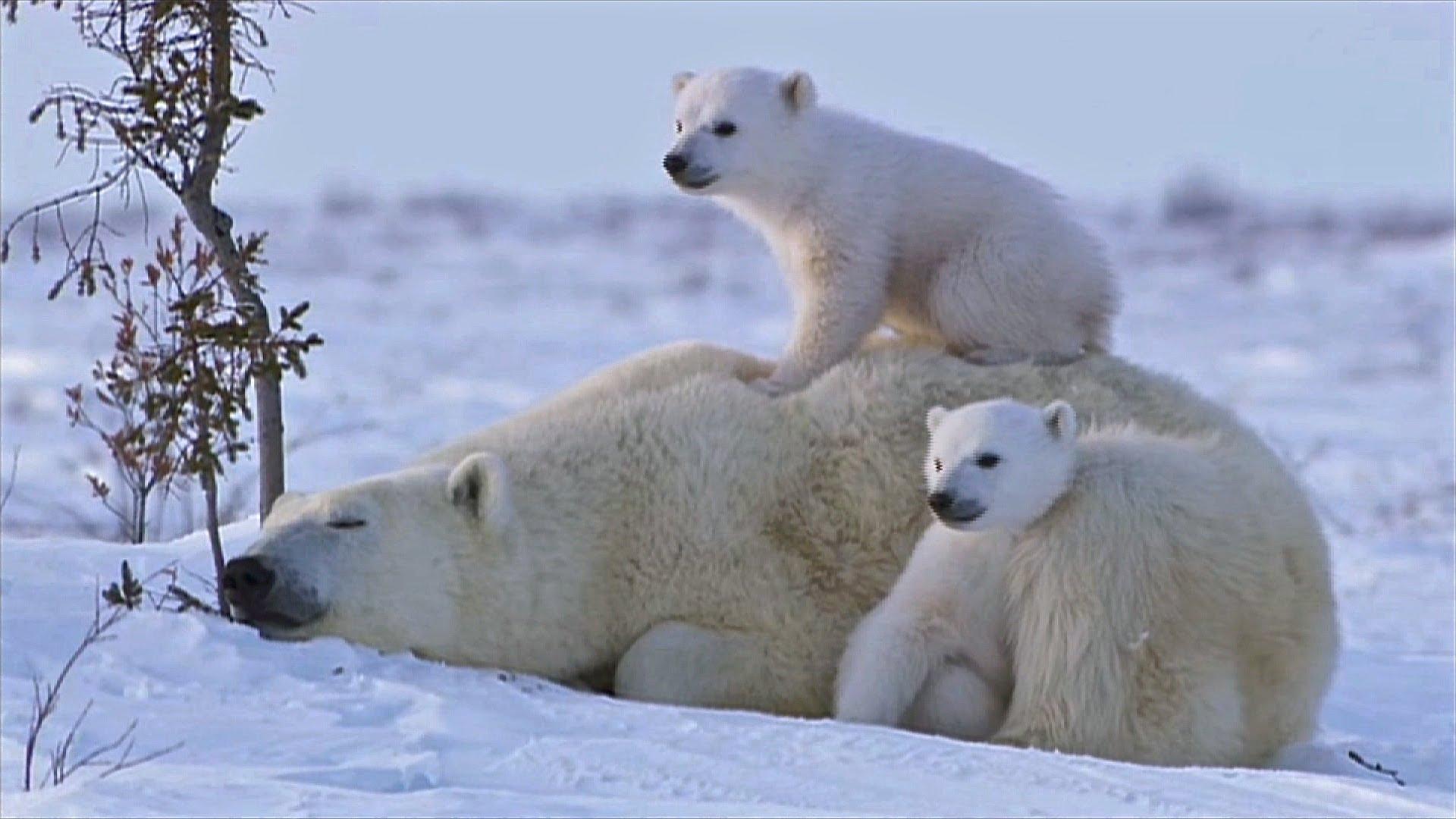 Bear Cub clipart snow bear Cubs Newborn Bear Polar wallpaper