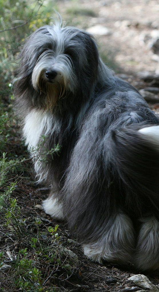 Bearded Collie clipart pet Collie hakkında Le fikir Sakallı