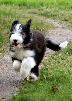Bearded Collie clipart 8 month What have! Collie) Bearded More