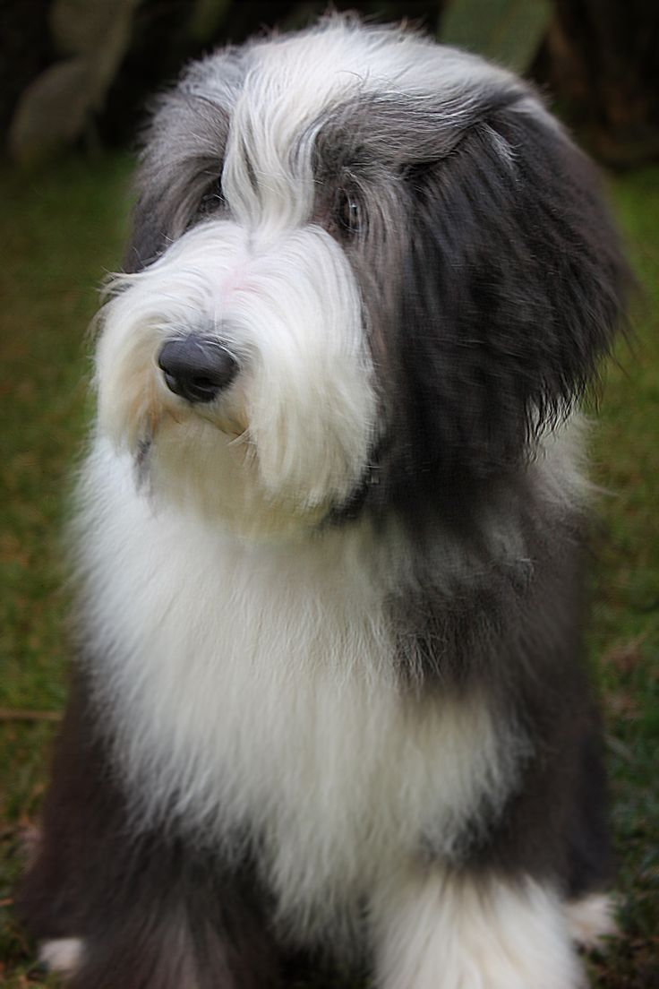 Bearded Collie clipart 8 month Best on old Bearded Pinterest