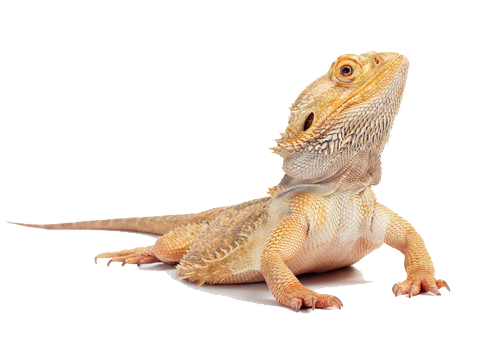 Bearded Dragon clipart head Free Images PNG Dragon Download