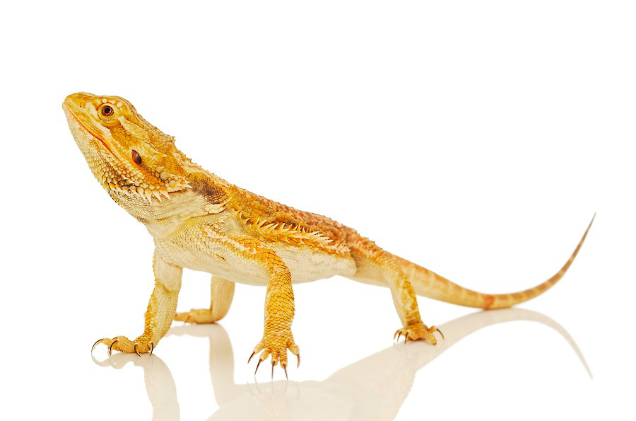 Bearded Dragon clipart head Art Dragon Clipart 91 Free