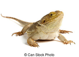 Bearded Dragon clipart And white dragon Stock on
