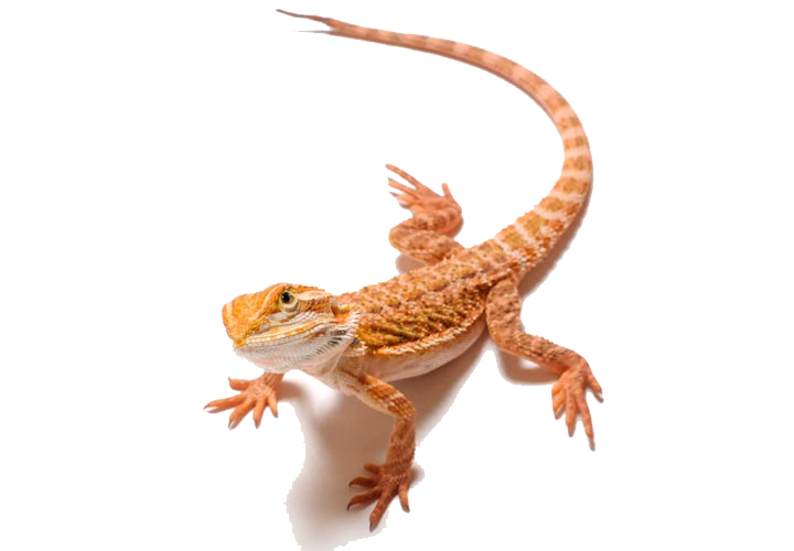 Bearded Dragon clipart Bearded PNG Bearded PNG Clipart