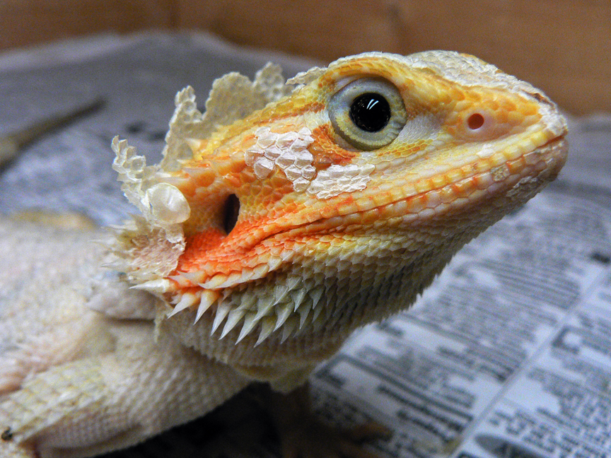 Bearded Dragon clipart colorful Dragons  RJ's Bearded Reptiles