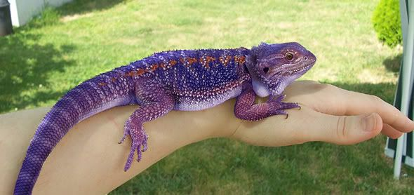 Bearded Dragon clipart colorful Dragons Search Google bearded Google